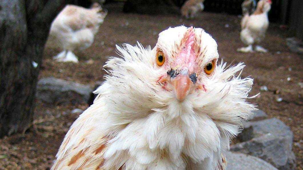 Comerțul ambulant cu păsări vii suspendat în toată țara din cauza gripei aviare
