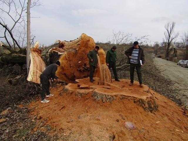 Arbori seculari, tăiați ilegal la Gâdinți