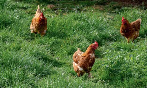 Gripa aviară: măsuri ce trebuie luate de crescătorii de păsări